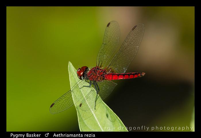 pygmy-basker-m-aethriamanta-rezia-wp-8-5824