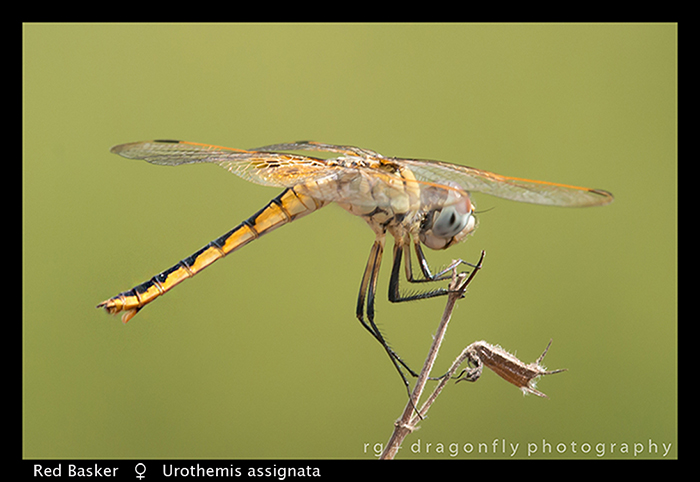 red-basker-f-urothemis-assignata-wp-8-6033