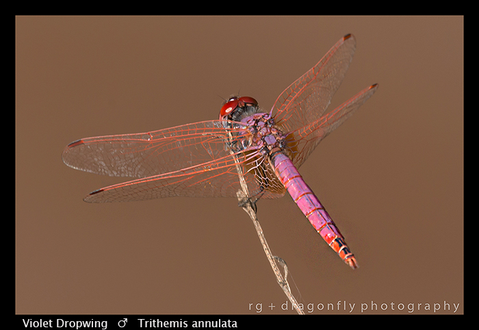 violet-dropwing-m-trithemis-annulata-wp-8-6148