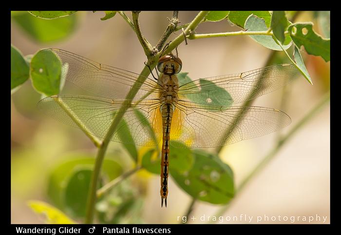 wandering-glider-m-pantala-flavescens-wp-8-6125