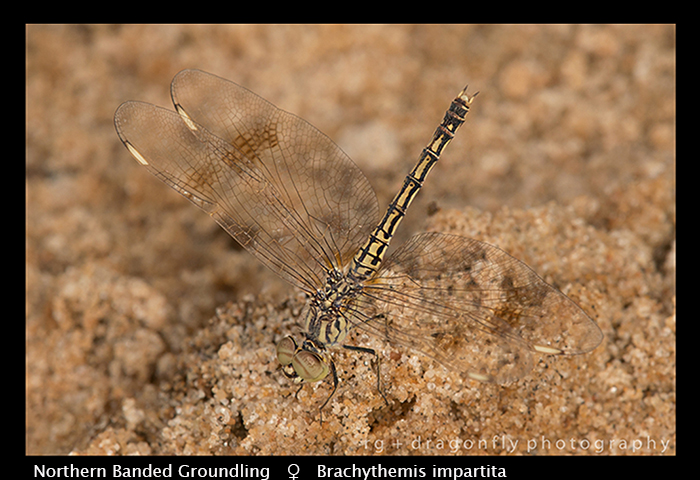 Banded Groundling (f) Brachythemis impartitia WP 8-5914