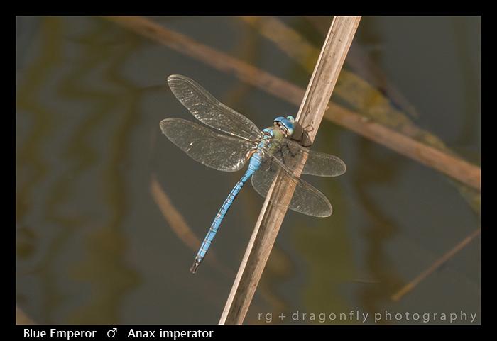Blue Emperor (m) Anax imperator WP 8-6376