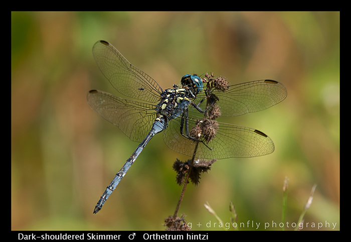 Dark-shouldered Skimmer (m) Orthetrum hintzi WP 8-5861