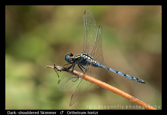 Dark-shouldered Skimmer (m) Orthetrum hintzi WP 8-5869