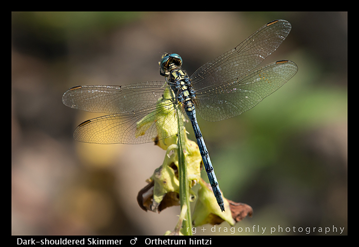 Dark-shouldered Skimmer (m) Orthetrum hintzi WP 8-5880