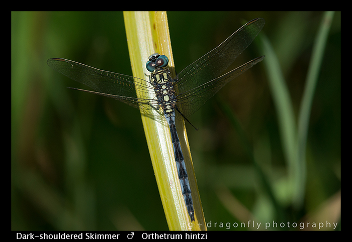 Dark-shouldered Skimmer (m) Orthetrum hintzi WP 8-5900