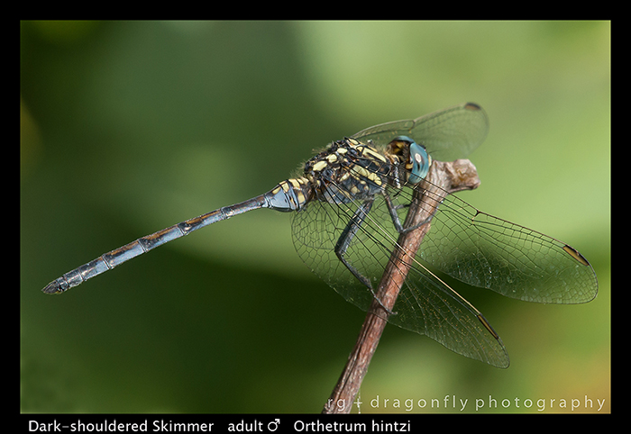Dark-shouldered Skimmer (m) Orthetrum hintzi WP 8-6170
