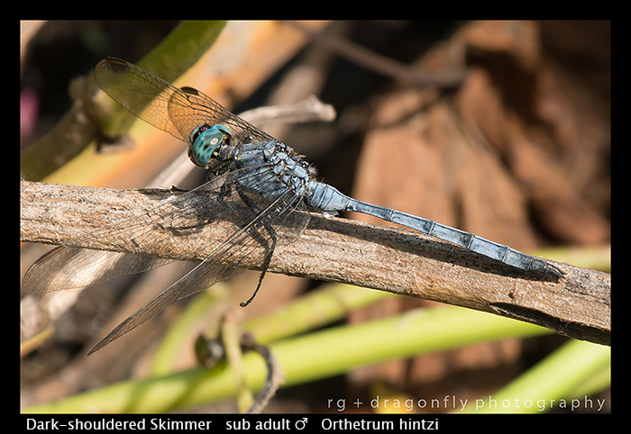 Dark-shouldered Skimmer ( sub ad m) Orthetrum hintzi WP 8-6178