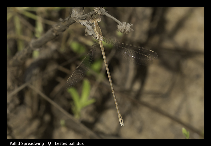 Pallid Spreadwing (f) Lestes pallidus WP 3799