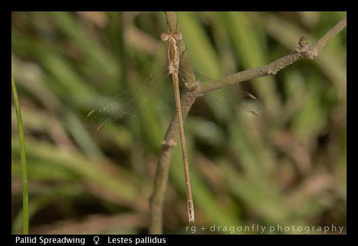 Pallid Spreadwing (f) Lestes pallidus WP 8-6085