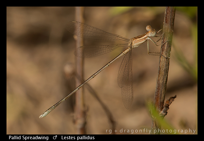 Pallid Spreadwing (f) Lestes pallidus WP 8-6098