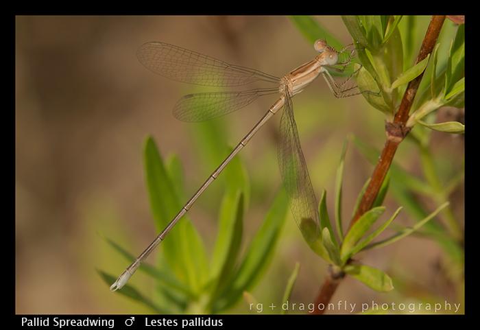 Pallid Spreadwing (f) Lestes pallidus WP 8-6103