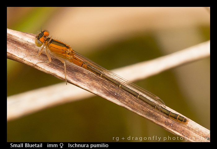 Ischnura pumilio (f) Small Bluetail WP 8-7739