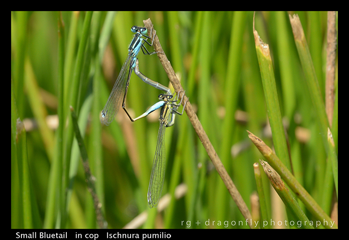 Small Bluetail - in cop - Ischnura pumilio WP 8-8488