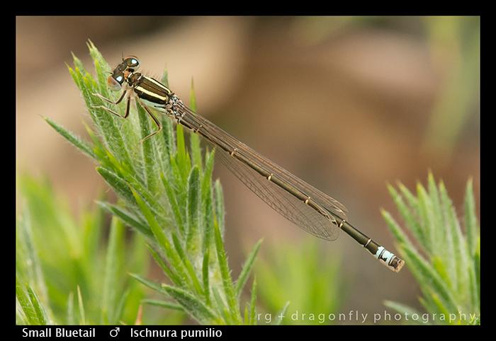Small Bluetail - m - Ischnura pumilio WP 8-7776
