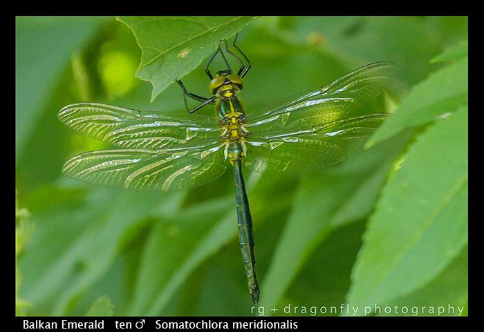 Balkan Emerald - (m) - Somatochlora meridionalis WP 8-3-8204
