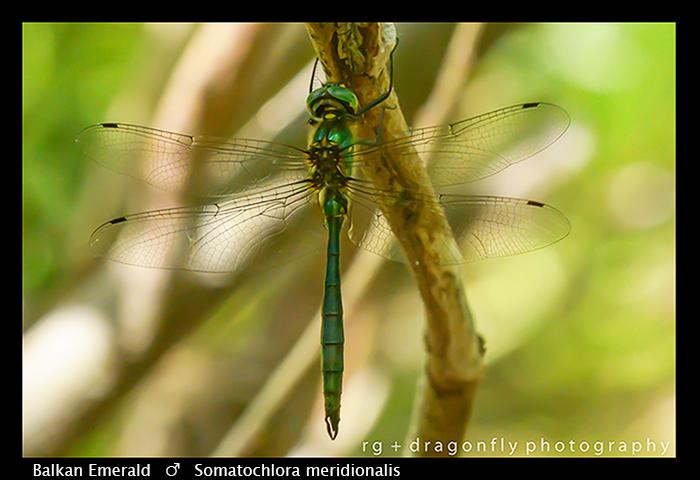Balkan Emerald - (m) - Somatochlora meridionalis WP 8-3-8238