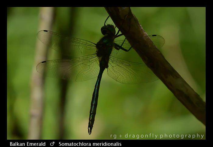 Balkan Emerald - (m) - Somatochlora meridionalis WP 8-3-8243